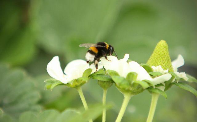 Čmrlji so bolj pridni kot čebele in oprašujejo rastline, ki jih te ne morejo. FOTO: Jure Eržen/Delo