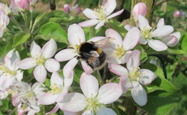 Svetli zemeljski črmlj na cvetovih jablane Foto Danilo Bevk