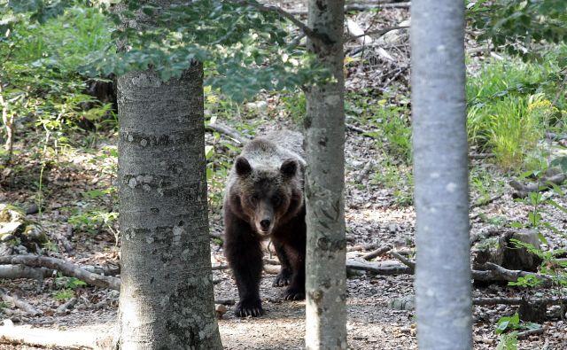 Kljub temu, da območje Triglavskega narodnega parka spada v prehodno območje rjavega medveda, se na tem območje bolj ali manj stalno zadržuje od pet do deset rjavih medvedov, nekateri na območju prebivajo stalno, drugi pa ga obiščejo občasno oziroma ga zgolj prečkajo. [Fotografija je simbolična.] FOTO:Ljubo Vukelič/Delo