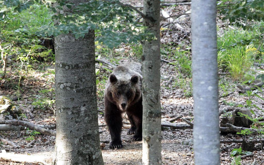 Na podlagi interventnega zakona odstrelili rjavega medveda