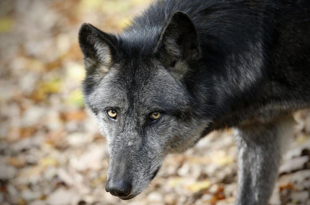 V Poljanski dolini volkovi pobili več kot 30 ovac