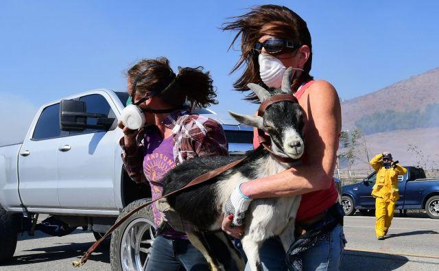 Reševanje ene izmed koz z ranča v bližini Reaganove knjižnice na območju Simi Valleyja v Kaliforniji. FOTO: Frederic J. Brown/AFP