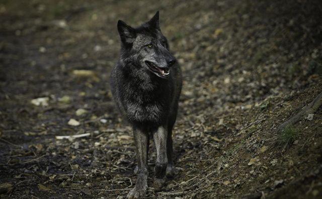 Upravljavci lovišč imajo dovoljenja za odstrel še treh volkov po interventnem zakonu: dveh na Kočevskem in enega na Primorskem. FOTO: Jože Suhadolnik