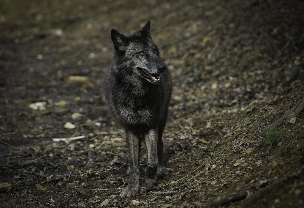 Policija potrdila, da sta bila volkova nezakonito ustreljena