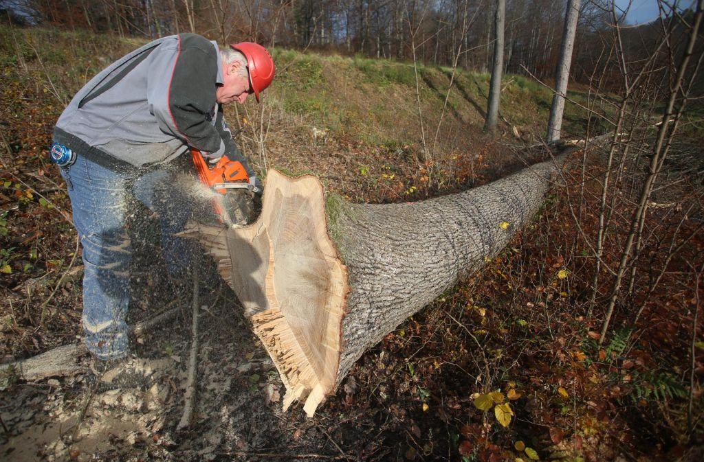 Izjemna drevesa že padajo za dražbo hlodovine