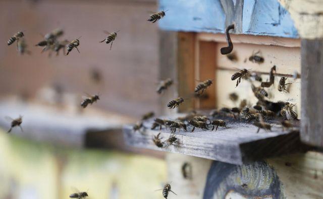 Kranjska čebela je cenjena zaradi svoje krotkosti, zaradi česar po njej povprašujejo tudi v drugih država. FOTO: Leon Vidic