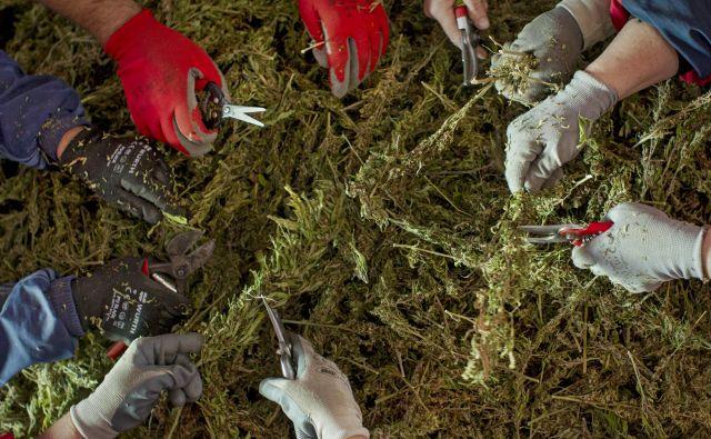 Industrijsko konopljo bo mogoče pridelovati tudi v rastlinjakih, ureditve gojenja medicinske konoplje pa še ni mogoče pričakovati.<br /> FOTO: Voranc Vogel/Delo