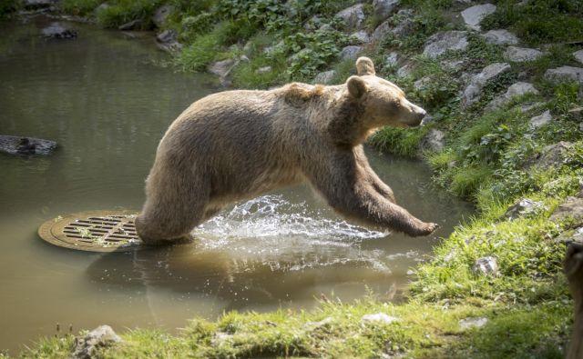 O odstrelu medvedov bo zdaj odločalo ministrstvo za okolje in prostor, za odziv ima na voljo dva meseca. FOTO: Voranc Vogel