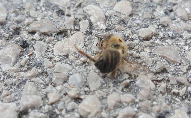 V ljubljanskih Klečah je umrlo večje število čebel. FOTO: Maja Prijatelj Videmšek