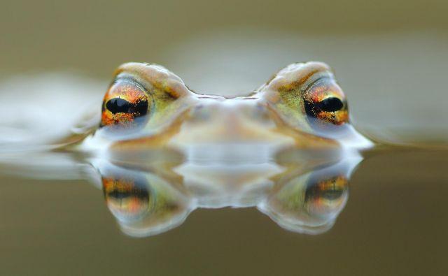 Krastača – po podatkih IUCN skoraj polovica vrst dvoživk izumira.<br /> FOTO: Davorin Tome