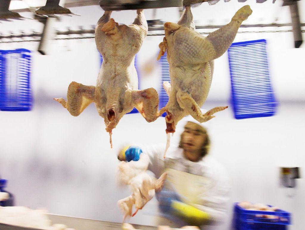 Zakaj predelava mesa prideluje viruse
