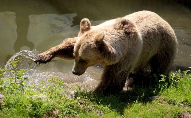 Medved se je proti čudu tehnologije podal z bliskovito hitrostjo in s slastjo zagrizel vanj. FOTO: Roman Šipić/Delo