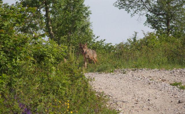 Na Vitinem truplu so našli veliko odprto rano na levi rami. Neuradno je bila volkulja ustreljena. FOTO: Hubert Potočnik