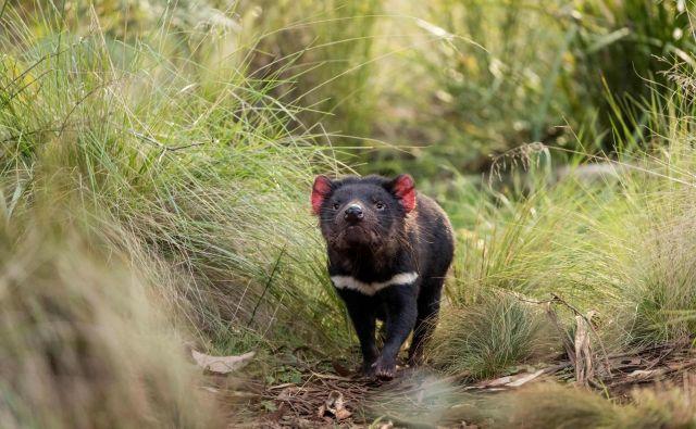 Tasmanski vrag se znova sprehaja po divjini v celinski Avstraliji. FOTO: Aussie Ark, AFP