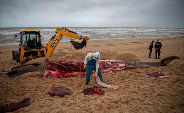 Moški reže trup kita, nasedlega na plaži v Les Sables-d&#39;Olonne, na zahodu Francije. FOTO: Loic Venance/Afp<br /> <br />