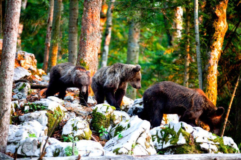 Medvedji turizem: mnogi želijo videti medveda v naravi