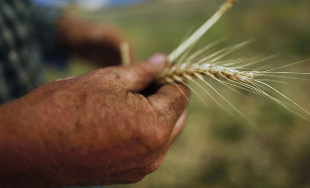 Najboljša pšenica po 215 evrov