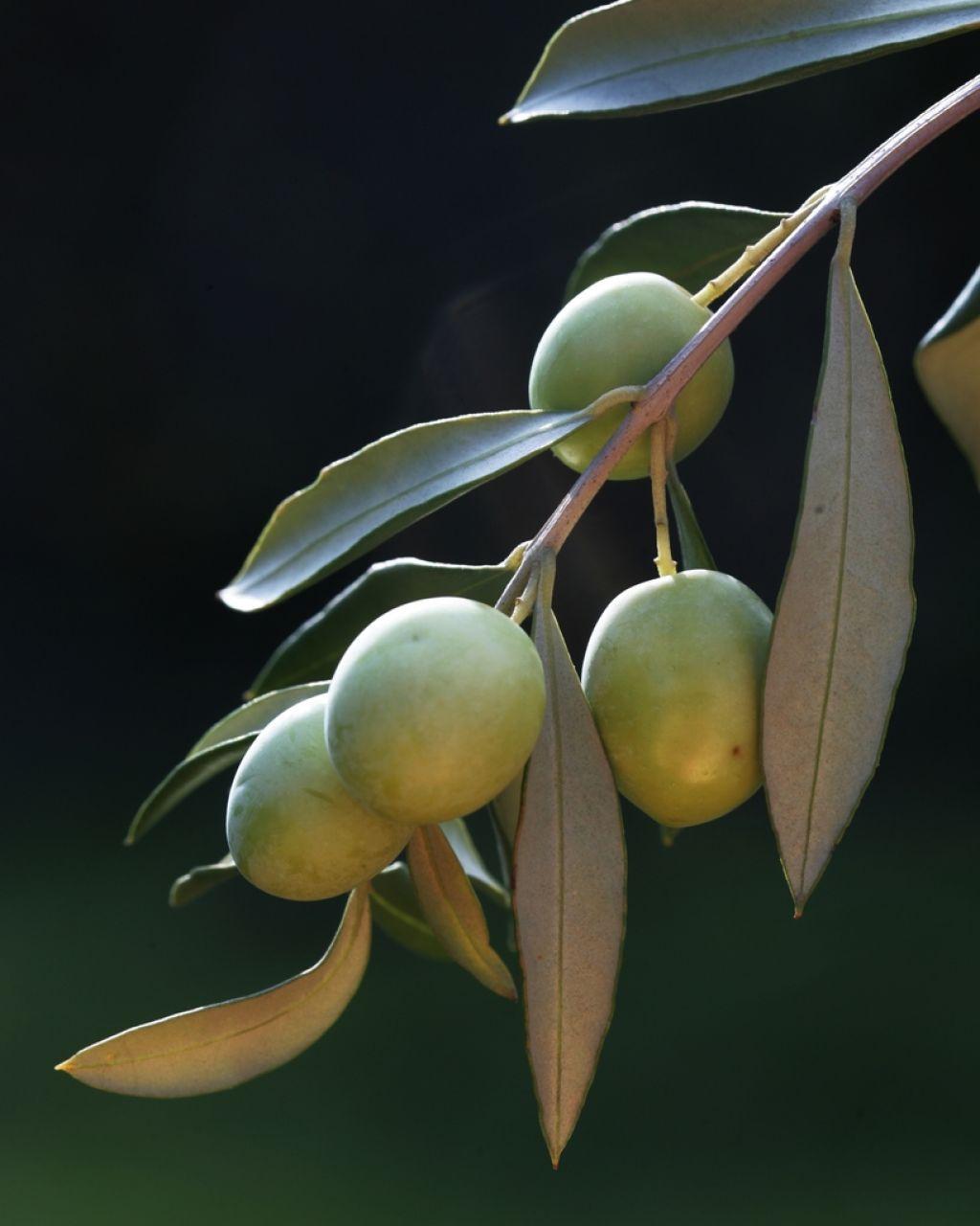 Kako okušamo oljčno olje