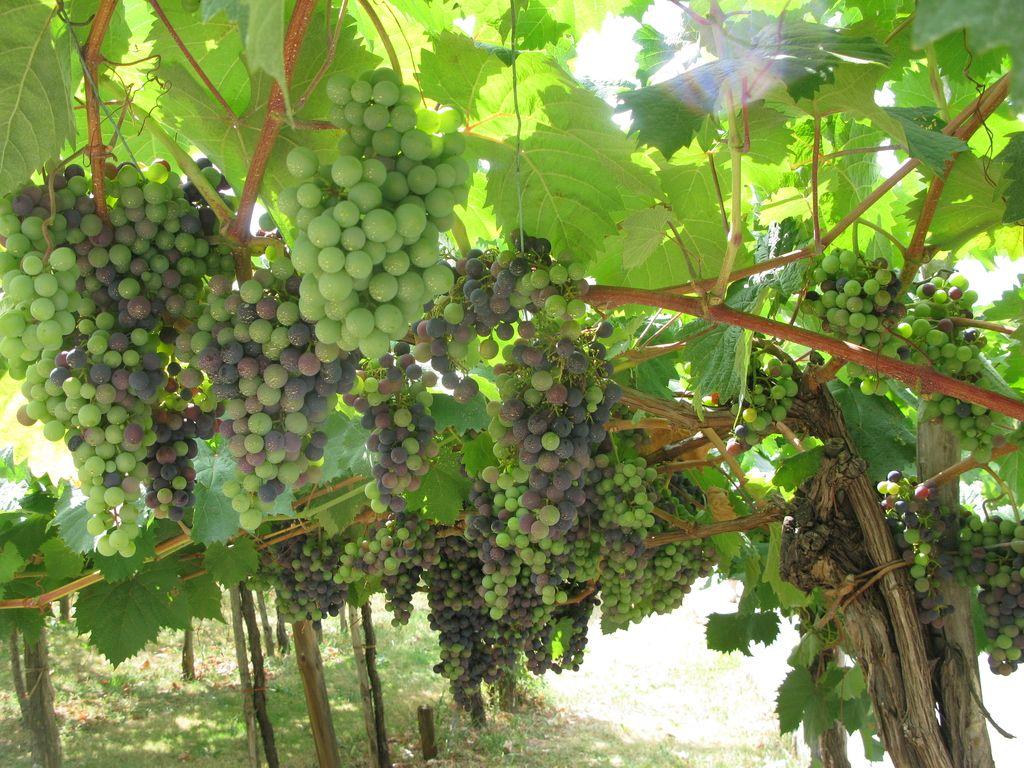 Vinogradniki v strahu pred novim katastrskim dohodkom