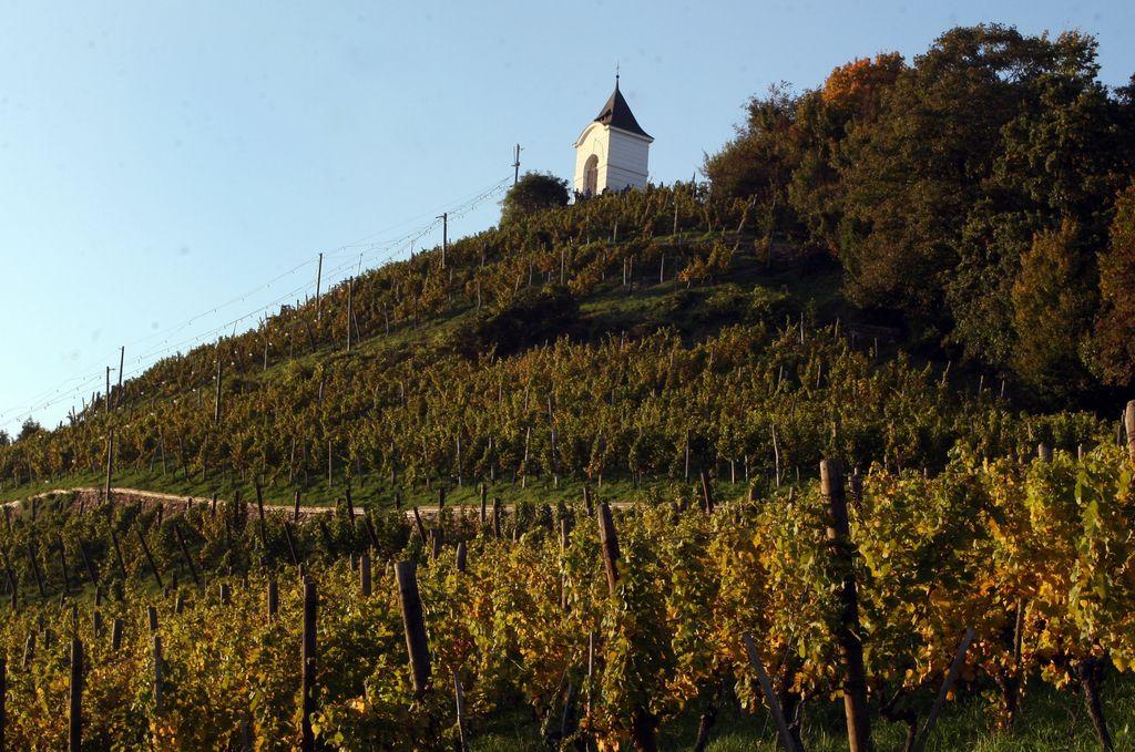 Občina Maribor nima za vzdrževanje vinograda