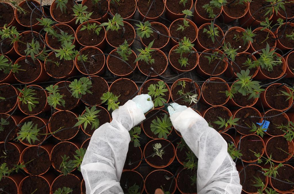 Medicinska marihuana: od čudežnih ozdravitev do razočaranja