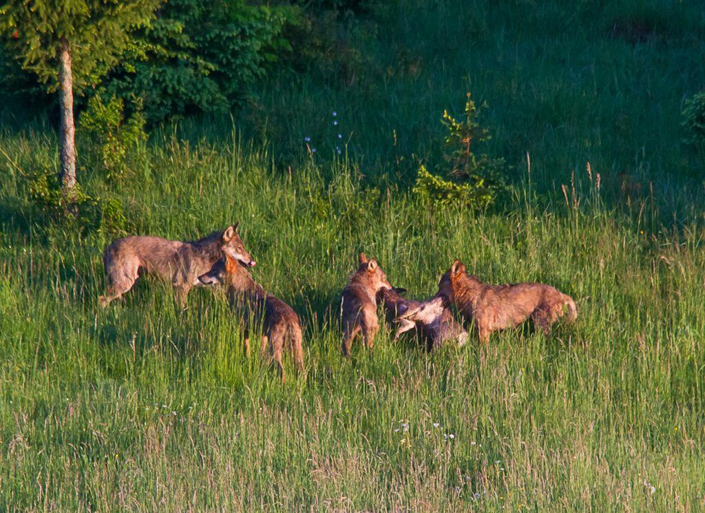Volkovi Sodražanom nagnali strah v kosti