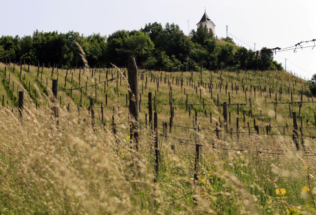Snaga naj bi postala tudi vinogradnica