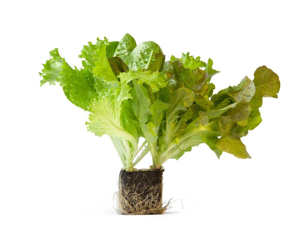 Prleki bodo svetu ponudili še živo zelenjavo