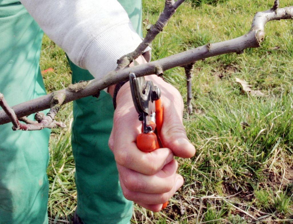 Deloindom: VIDEO - sajenje in gojitvena rez sadnega drevesa