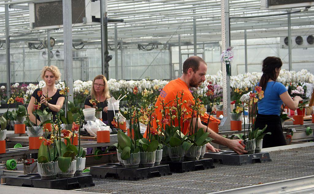 Izvoznik Ocean Orchids: Orhideje vzgajane s pomočjo geotermije