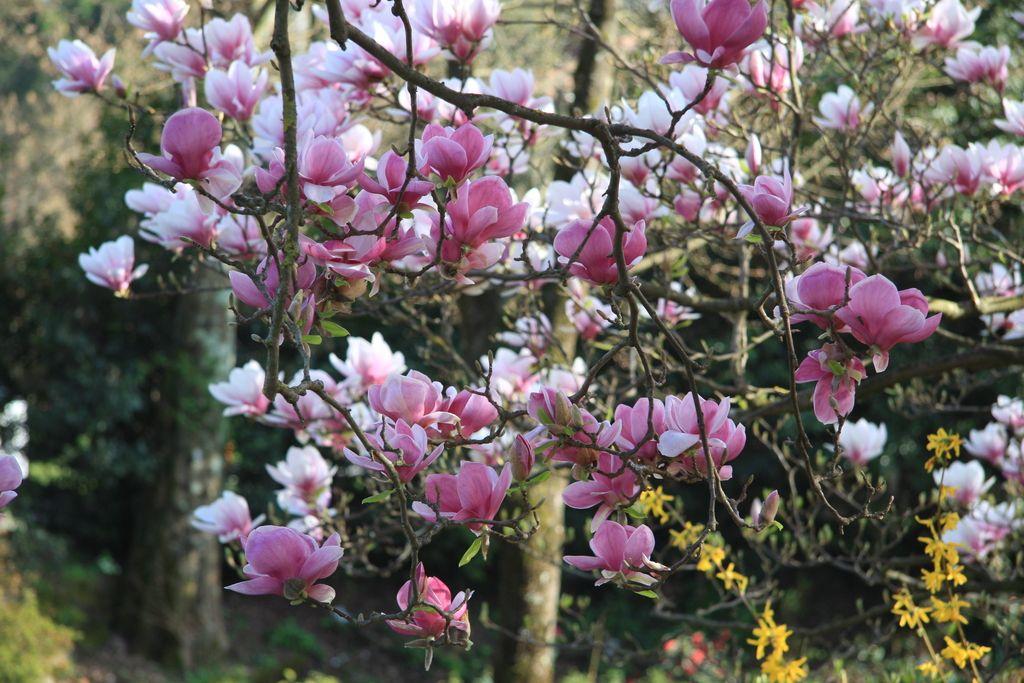 Deloindom: Magnolije so starejše od čebel